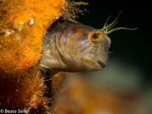 Blenniy at a wreck off shore Panama City Beach by Beate Seiler